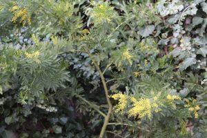 mimosa pognana lario